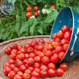 Husky Cherry Red Tomato Seeds