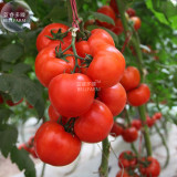 Large Tomato Middle Red Truss Plant Seeds