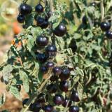 Tomato 'Indigo Rose' Organic Fruit Seeds