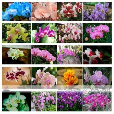 24 Types Perennial Phalaenopsis Orchid Flower Seeds for your choose
