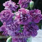the Rarest Dianthus 'Purple Rain' Carnation Flower Seeds