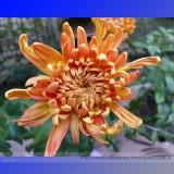 Orange Chrysanthemum Flower Seeds