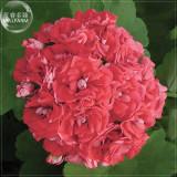 Geranium 'Rose Red Rosebud' Hybrid Seeds