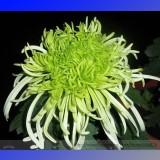 Green 'Spider' Chrysanthemum Flower Seeds,100 seeds.