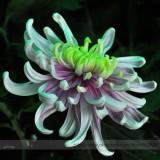 Green Blue Purple Chrysanthemum Perennial Flower Seeds