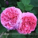 Heirloom Pink  Rose Bush Flower Seeds