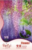 Blue Chinese Wisteria Vine Wisteria sinensis Seeds