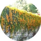 Rare Chinese Orange Pyrostegia venusta Perennial Climbing Plant Seeds