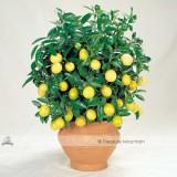 30PCS Bonsai Yellow Green Lemon Tree Seeds