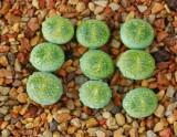 ONLY 1 Piece Lithops lesliei ssp. lesliei v. lesliei seedling C36A