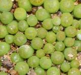 C362 Lithops bromfieldii v. insularis 'Sulphurea' Seedlings