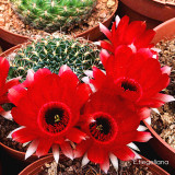 Lobivia Tiegeliana Cactus Bulb