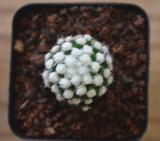 Mammillaria vetula ssp Cactus Bulb