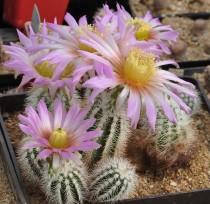 Echinocereus Albispinus Cactus Bulb