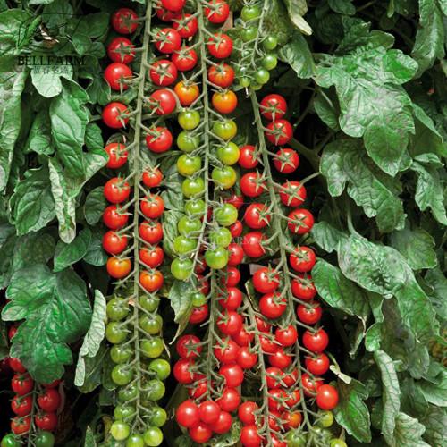 Us 2 99 Bellfarm Tomato Rapunzel Green Red Bonsai Cherry Tomato 100pcs Seeds Heirloom High Yield For Home Garden Fruits M Deargogo Com