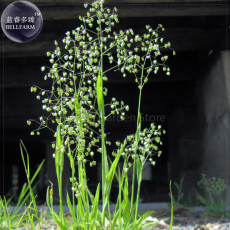Briza Minor Ornamental Little Quakinggrass Seeds, 50 seeds, professional pack, a must for planting wild grass E4132