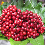 Heirloom Red Middle Sweet Cherry Fruits, 6 Seeds, juicy tasty organic seeds E3537