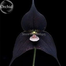 Rare Black Monkey Face Orchid Perennial Plants, 100 Seeds, long flowering fragrant attract the butterfly E3647