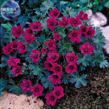 BELLFARM Geranium Macrorrhizum Dark Red Flower Seeds, Professional Pack, 10 Seeds, perennial bonsai plants E4217