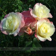 BELLFARM New Kathy Wade Hybrid Rose Shrub Bonsai Flowers, 50pcs/pack, heirloom fragrant flowers #A00211