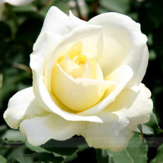 1 Professional Pack, 50 seeds / pack, New White Rose Shrub Flower Seeds #A00209