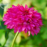 Rare 'Pink Poodle' Echinacea Purpurea, 100 Seeds, big blooms double coneflowers TS260T