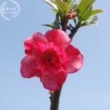 'Red Cherry' Adenium Desert Rose, 2 Seeds, bright red white double petals E4012