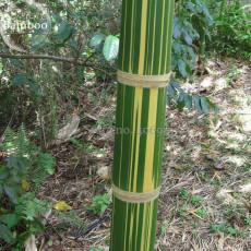Dendrocalamus latiflorus Tawian Giant Bamboo, 30 seeds, green body with yellow strip E3882
