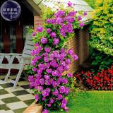 BELLFARM Rose Purple Compact Climbing Flower Seeds, 50 seeds, professional pack, big blooms home garden fragrant