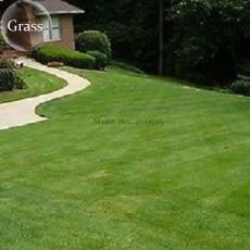 Football Grass, 100 seeds, evergreen grass E3927
