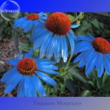 Rare 'Yangko' Light Blue Echinacea purpurea, 100 Seeds, big blooms blue petals w/ orange heart Hybrid flowers TS252T