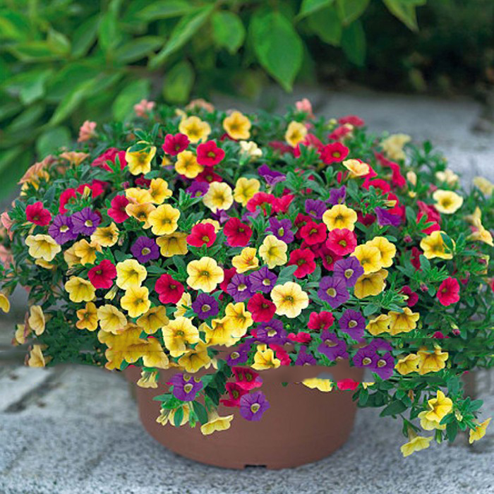 Mix Garden Petunia Shuttlecock Flower Horn Bonsai Flower Seeds 200pcs