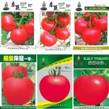 BELLFARM (for greenhouse) High Yield Tomato Big Pink Red Hybrid Seeds, 10 grams or 5 grams /original pack great for garden