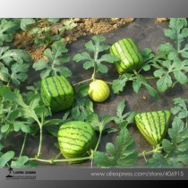 Rarest Square Triangular Cylindrical Small Watermelon Seeds Professional Pack, 20 Seeds / Pack, 15% Sugar Sweet Juicy