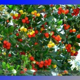 Madrone Killarney Waxberry Tree Arbutus Unedo Seeds, Professional Pack, 5 Seeds / Pack, Sweet Fruit Bonsai E3341