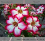 1 Professional Pack, 2 seeds / pack, Rosy Adenium Obesum Sweet Desert Rose Flowers Seeds #NF300