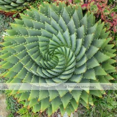 Aloe Polyphylla Seeds, Professional Pack, 1 Seed / Pack, Spiral Aloe Succulent Seed