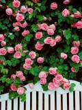 1 Professional Pack, 100 Seeds / Pack, Rare Pink Climbing Rose Seeds, Very Beautiful Ornamental Climbing Flowers #A00095