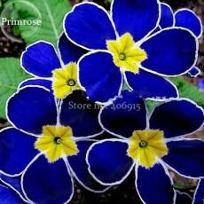 Rare Evening Primrose Telosma Cordata, 30 Seeds, smell wonderful night willow herb light up your garden E3582