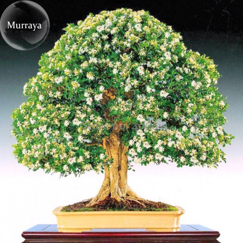 Us 2 00 Heirloom Murraya Paniculata Orange Jasmine Seeds 20 Seeds Pack Fragrant Shrub Bonsai Available E3192 M Deargogo Com