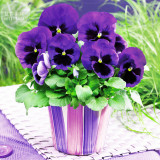Pansy Swiss Violet Flowers Seeds, 30 Seeds, Professional Pack, viola wittrockiana a must for home bonsai in winter TS396T
