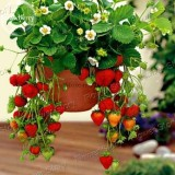 Hanging Giant Red Strawberry Fruits, 100 seeds, heirloom juicy sweet tasty strawberry E3800
