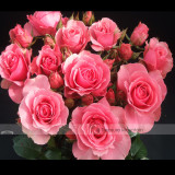 1 Professional Pack, 50 seeds / pack, Clusters of Pink Rose Indoor Garden Seed #NF420