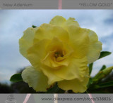 1 Professional Pack, 2 seeds / pack, Variegated Adenium Obesum YELLOW GOLD Desert Rose Flowers Seeds #NF293