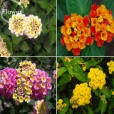 Mixed Colorful Lantana Camara Perennial Plants, 10 Seeds, Garden White Yellow Pink Orange Flowers E3803