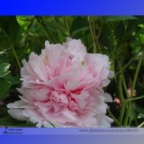 Heirloom 'Wan Shi Sheng Se' Pink Multi-petalled Peony Tree Perennial Flower Seeds, Professional Pack, 5 Seeds / Pack E3183