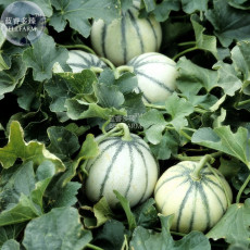 BELLFARM Small Heirloom True French Charentais Gourmet Melon Cucumis Melo Seeds, Professional Pack, 20 Seeds / Pack, Tasty Melon