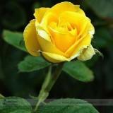 Heirloom Yunnan Yellow Rose Flower Perennial Shrub Plant Seeds, Professional Pack, 50 Seeds / Pack, Light Fragrant Garden Flower