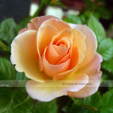 1 Professional Pack, 50 seeds / pack, Yunnan Orange Rose Plant Seed #NF425