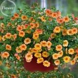 Hanging Orange Morning Glory Flower, 50 seeds, very beautiful garden plants E3810